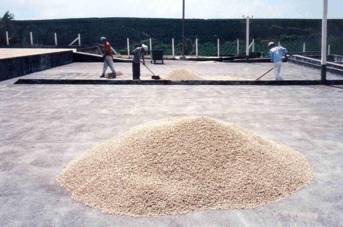 Kahvien kuivausta Costa Ricassa. Kahvin prosessointi