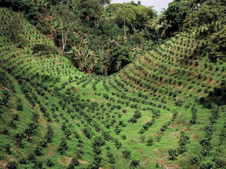 Kahvin viljely
