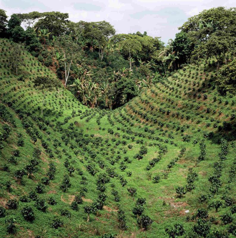 Coffee Plantation (kahvin viljely) CC INeedCoffee/CoffeeHero