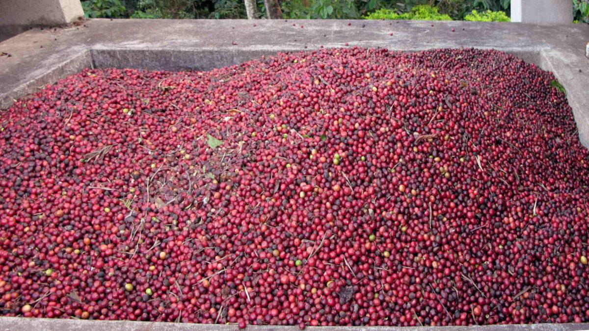 Kahvin prosessointi. Intialaisia kahvimarjoja. CC Abdulla Al Muhairi