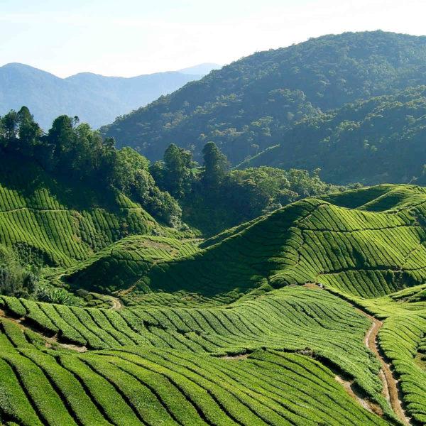 Tea fields (Will Ellis) CC Alokprasad84 1920px