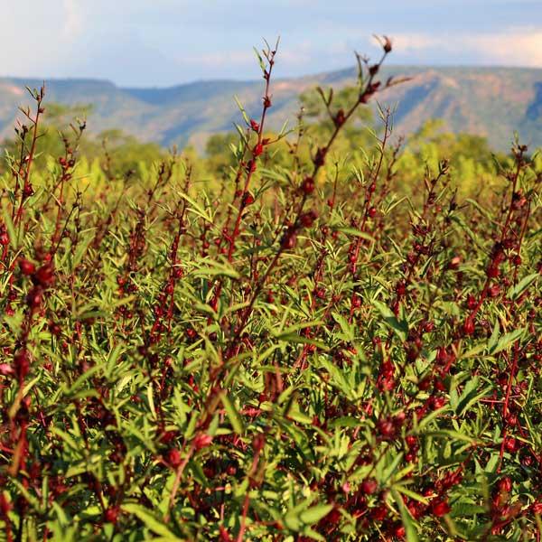 Pona-tea-Rosella-hibiscus-3