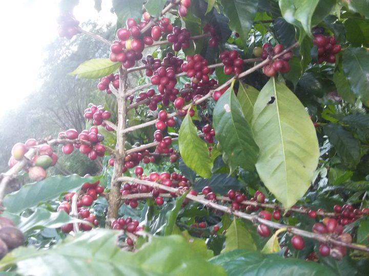 #138 Makea Coffee: Ana Perez