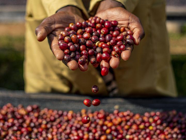 #167 Makea Coffee: Gasharu