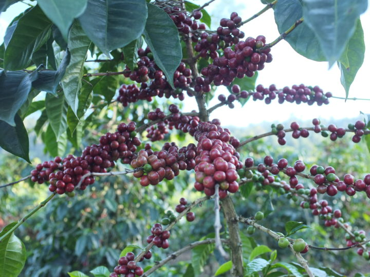 #172 Makea Coffee: Ana Perez